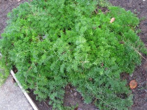 Asparagus-sprengeri